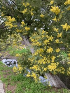 Blooming Acacia Tree